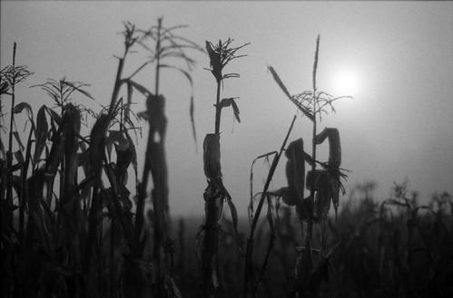 Corn, Sun and Fog