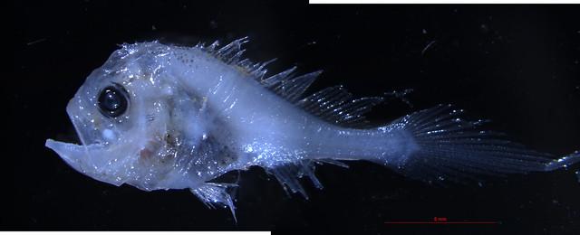 collichthys lucidus