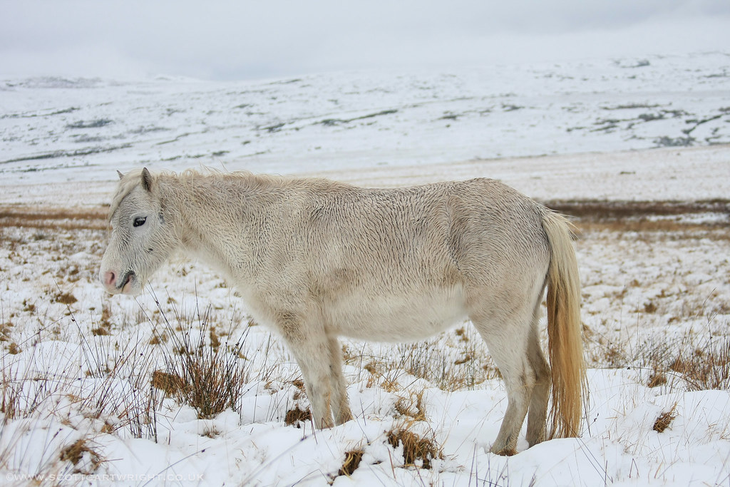 Welsh Pony