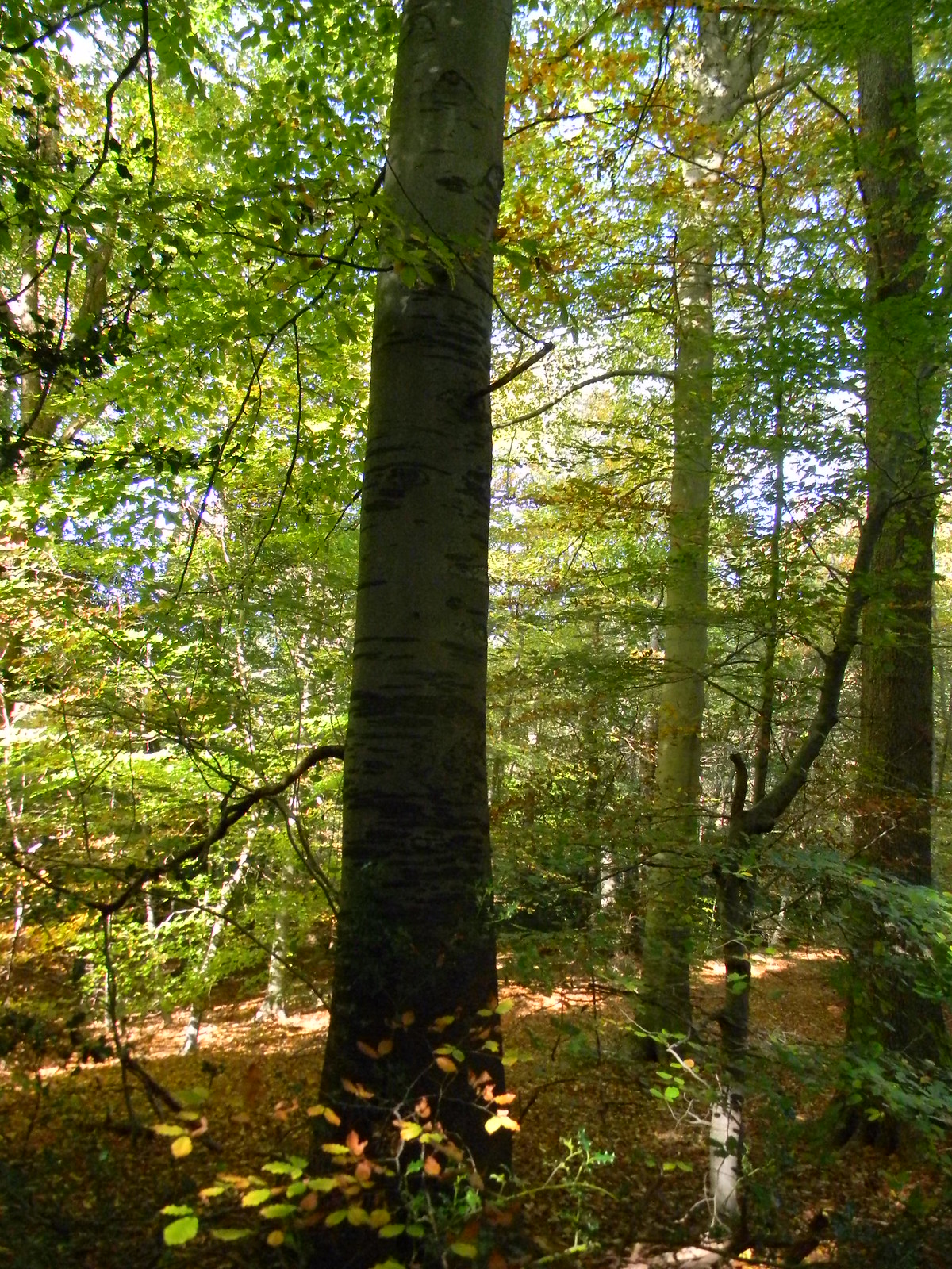 Tall tree, Burnham Beeches Gerrards Cross to Cookham Some of us took a detour into Burnham Beeches