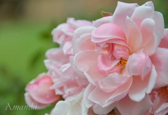 rose_3466