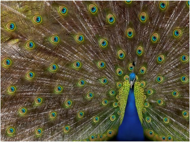 Peacock Plumage by Roan Manion, UK