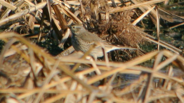 Header of American Pipit