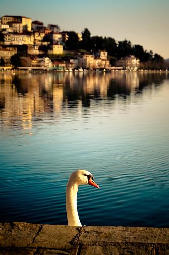 swan greece kastoria kastorias κύκνοσ