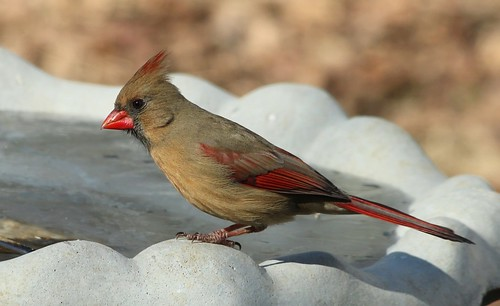 Northern Cardinal by Karen Bonsell