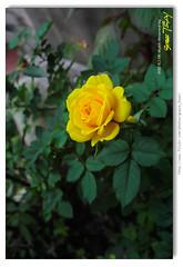 20cm  近拍黃玫瑰