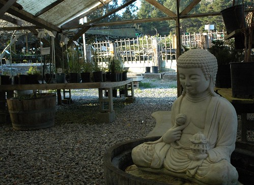 Statue of seated Buddha, holding a lotus bud and lamp, in a lotus tub, winter, Half Moon Bay Nursery, California, USA by Wonderlane