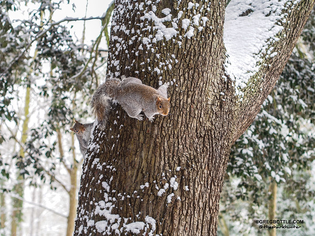 Two Squirrels in a snow covered tree
