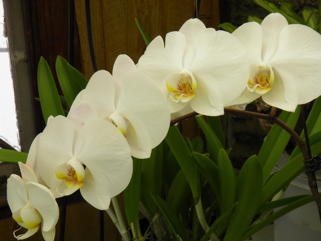 Types Of White Orchids