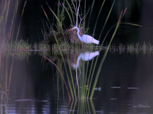 Great Egret before sunrise HDR 04-20160926