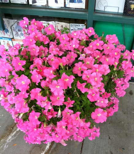welcoming petunias