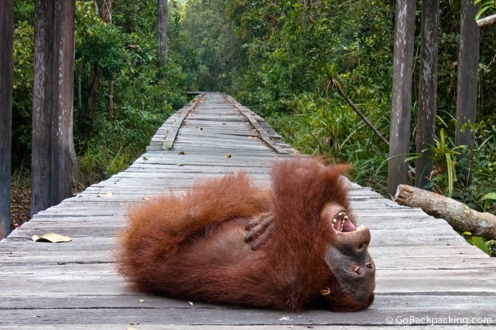 Orangutan laugh