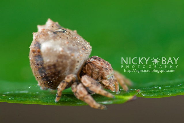 Crab Spider (Thomisidae) - DSC_8836