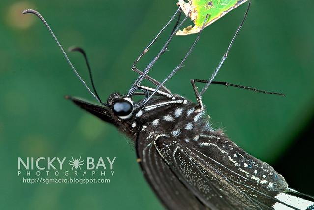 Common Mormon (Papilio polytes romulus) - DSC_8573