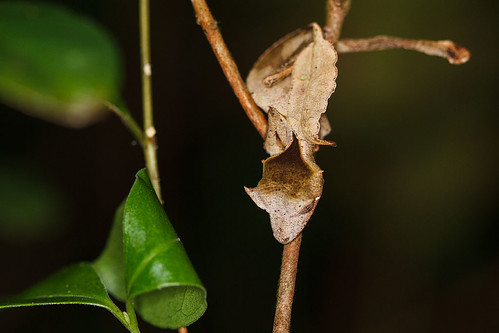 Leaf-tailed gecko (Uroplatus) - Lövsvansgecko
