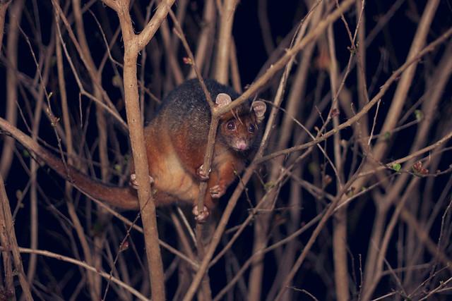 treepossum