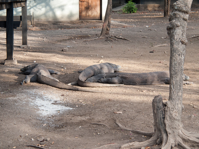 Komodo dragons sleeping