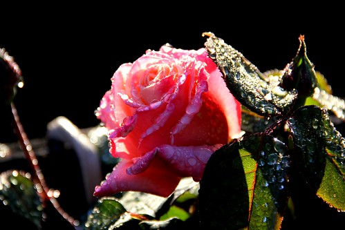 Dew covered rose flower basking in the morning sun
