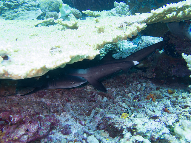 Sharks sleeping under coral