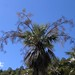 Palm tree in flower - Palma en floración; Palmas; cerca de Las Palmas, Región Mixteca, Oaxaca, Mexico por Lon&Queta