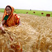 Farmer harvests wheat experiment, Bangladesh by CIMMYT