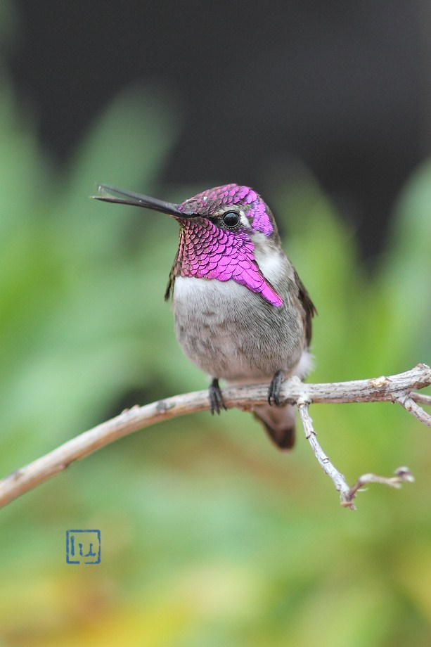 Costa's X Anna's Hybrid Hummingbird 101912-2
