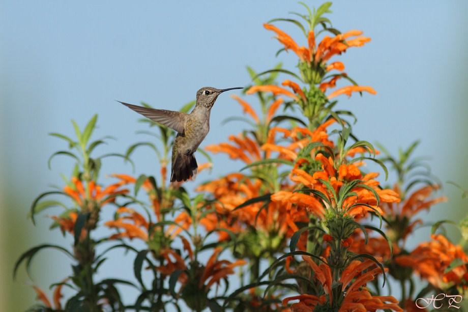Anna's Hummingbird 102012-2