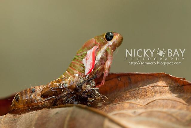 Cicada (Cicadidae) - DSC_1751