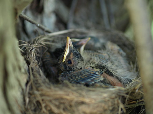 robin chicks in nest