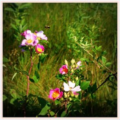 rosesANDbee