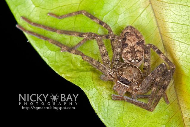 Huntsman Spider (Sparassidae) - DSC_1418