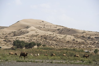 Camels at Taklamakan