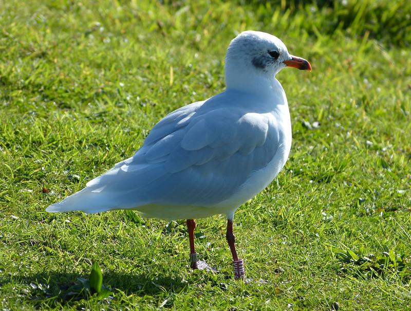 28808 - Mediterranean Gull, Bracelet Bay