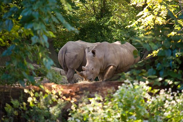 Rhinos, Bronx Zoo