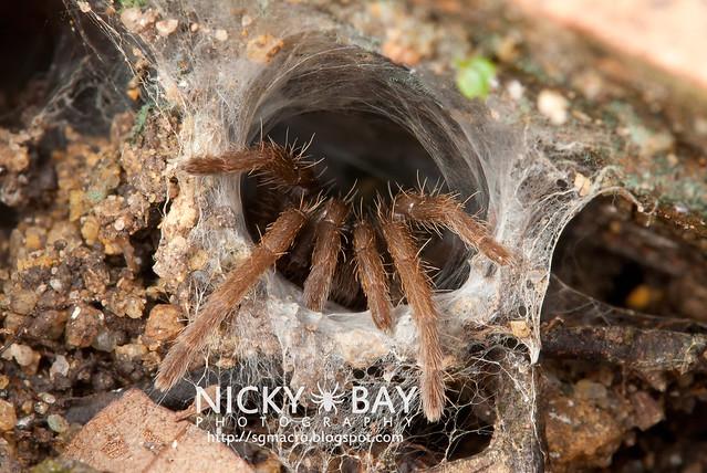 Tarantula (Phlogiellus sp.) - DSC_9280