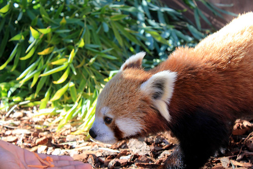 Ellish, a red panda