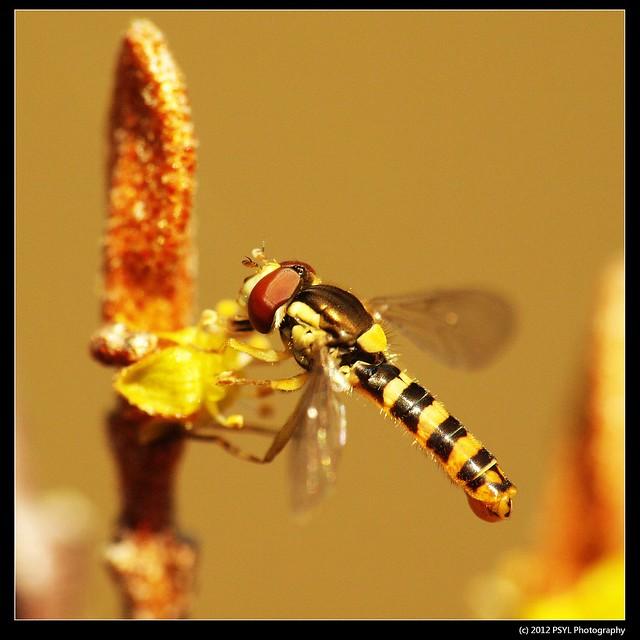 Sphaerophoria sp. (Family Syrphidae) on soapberry flower