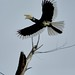 inflight- Oriental pied hornbill by Tok Ki, an idiot with cameras