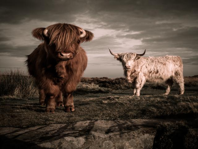 Wild Cows by Tom Rogers, Derbyshire, UK