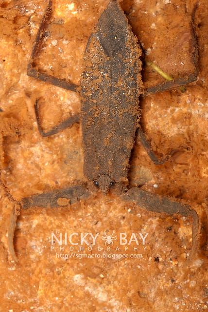 Water Scorpion (Nepidae) - DSC_8901