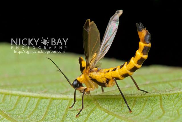Soldier Beetle (Ichthyurus sp.) - DSC_8661