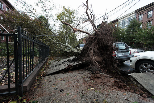 Hurricane Sandy / Uprooted Tree