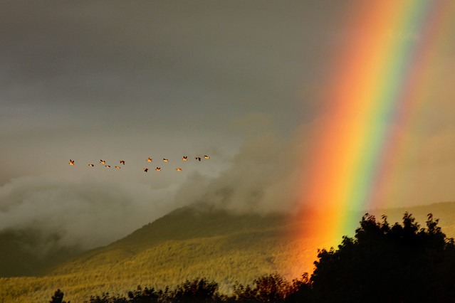 Stormy sky with geese and a rainbow