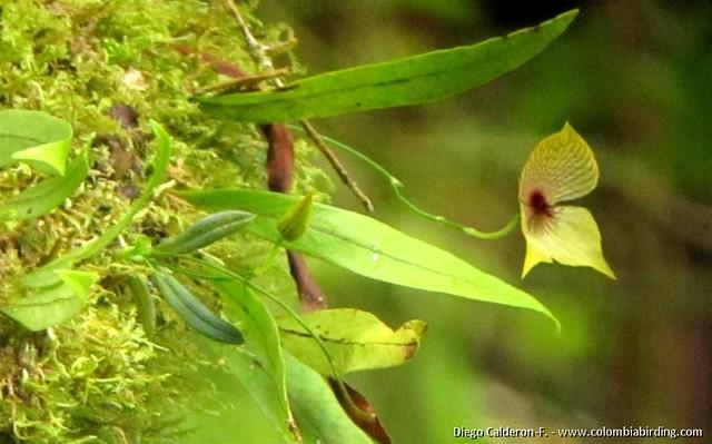 Telipogon sp. orchid - Boquete, Panama