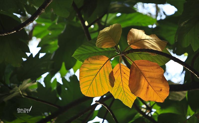 秋黃的麵包樹葉