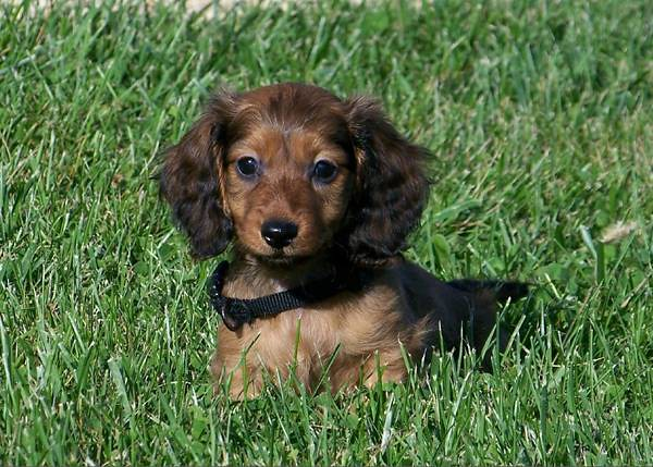 Red Long Haired Dachshund Puppies