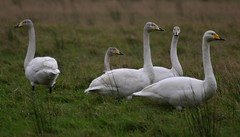 Whooper Swans @ Crook of Baldoon RSPB by davidearlgray