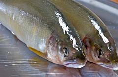 salmon-like fish(0.0), trout(0.0), cod(0.0), forage fish(0.0), recreational fishing(0.0), tilefish(0.0), coastal cutthroat trout(0.0), sardine(0.0), milkfish(0.0), animal(1.0), fish(1.0), fish(1.0), oily fish(1.0), food(1.0),