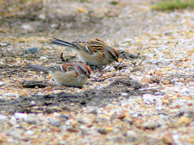 American Tree Sparrows 2-20130110