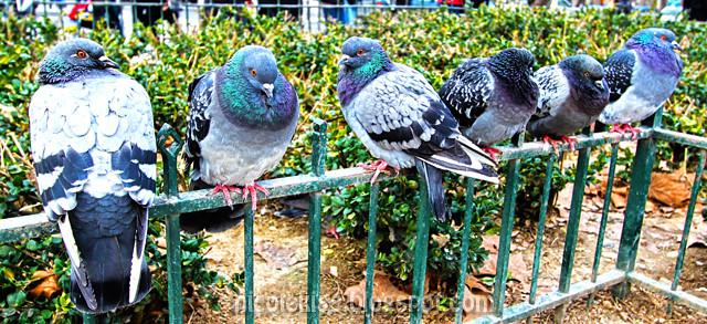 HDR pigeons